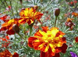 孔雀草是中国引进的墨西哥花卉