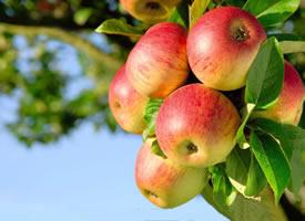又红且水分充足的苹果水果图片
