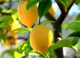 其味道极酸的柠檬水果图片欣赏