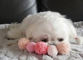 一組超級呆萌的小可愛狗狗圖片欣賞