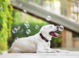 一只乖巧的小可愛白色狗狗圖片欣賞
