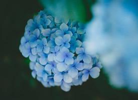蓝色的绣球花唯美图片桌面壁纸