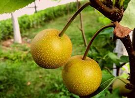 清热解毒的梨子水果图片