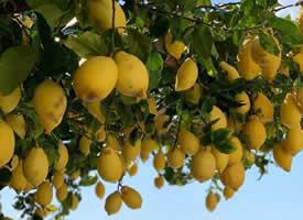 一組檸檬樹下的夏日圖片欣賞