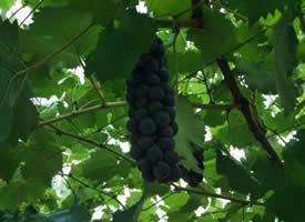 一組酸甜可口的葡萄圖片