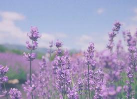 薰衣草的香是人生中的某种半梦半醒的状态
