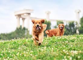 一组可爱的金毛狗狗图片欣赏