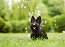短短腿的梗类犬都好可爱图片