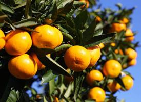 一组甘甜适口的柑橘图片