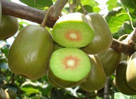 風味濃甜可口的獼猴桃圖片