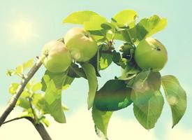 色泽光滑的青苹果图片