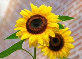漂亮的向日葵唯美高清图片欣赏