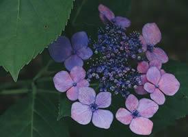一组美丽绽放的绣球花图片欣赏