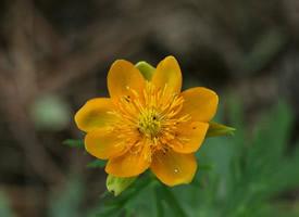 漂亮的金莲花唯美高清图片欣赏