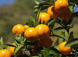 肉質味甜的溫州蜜桔圖片