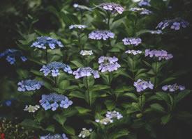 一路都是繡球花 特別美的樣子