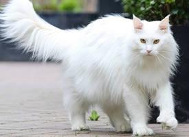 一只超酷的白色缅因猫,眼神自带杀气