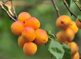 金黄色的杏子图片欣赏