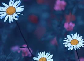一组清新唯美的雏菊花图片欣赏