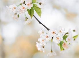 一組美麗的白色櫻花圖片欣賞