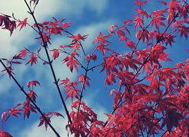 秋季唯美楓葉圖片桌面壁紙