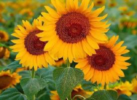 美得不像话的向日葵花朵壁纸