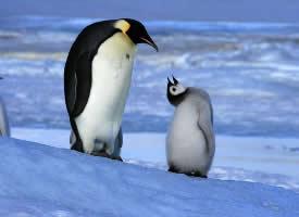 一组萌萌哒的南极企鹅图片