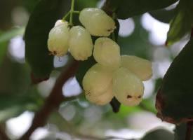 一組清甜可口的白果蓮霧圖片