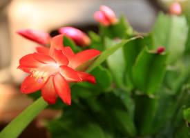 一組俏麗的蟹爪蘭開花圖片