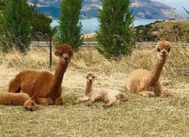 溫馨有愛的新西蘭莎瑪拉羊駝圖片