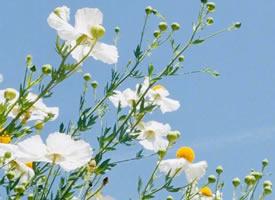 一组小清新的白色雏菊花图片欣赏