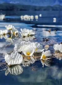 每年海藻花盛开的时候,就是泸沽湖最美的时间