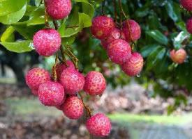 一组挂在树上的红红荔枝图片