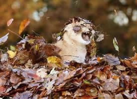 落葉下的小獅子,好治愈