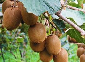 一組掛在樹上超級新鮮的獼猴桃
