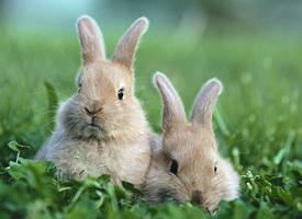 萌系可愛的小白兔桌面壁紙