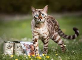 豹貓Alana,大大的藍眼睛和美麗的斑