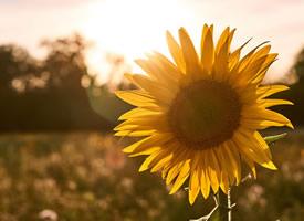 一组灿烂开放的向日葵图片欣赏