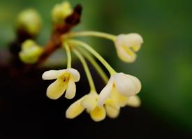 一组清新素雅的桂花图片欣赏