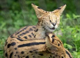 一組可愛的豹貓圖片