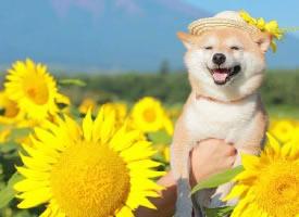 一組治愈系的柴犬微笑圖片
