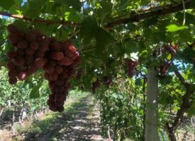 一組掛在樹上的葡萄圖片