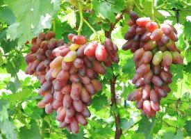 一組紅色誘人的美人指葡萄圖片