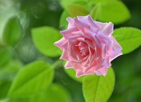 一组清新养眼的粉色系花卉图片欣赏