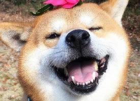 一組超萌很招人喜愛的柴犬圖片