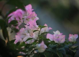 一组赏心悦目的粉色三角梅图片
