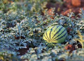 一組在地里成熟了的西瓜圖片欣賞