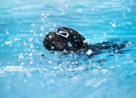 一组在水里游泳的罗威纳狗狗图片
