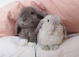 形影不離的兔兔Neutrino和Boson,可愛翻倍