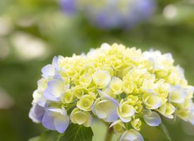 清新唯美的绣球花高清图片欣赏